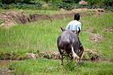 Farmer with buffalo in rice field