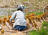 Woman working on collecting rice