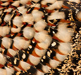 Close-up of Cabot's Tragopan feathers, Tragopan caboti