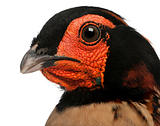 Close-up of Cabot's Tragopan, Tragopan caboti, in front of white background