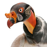 Close-up of King Vulture, Sarcoramphus papa, 10 years old, in front of white background
