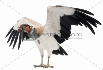 King Vulture, Sarcoramphus papa, 10 years old, in front of white background