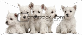 Five West Highland Terrier puppies, 7 weeks old, in front of white background