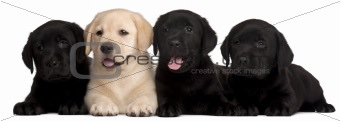 Four Labrador puppies, 7 weeks old, in front of white background