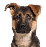 Close-up of German Shepherd puppy, 3 months old, in front of white background