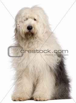 Old English Sheepdog, 2 and a half years old, sitting in front of white background