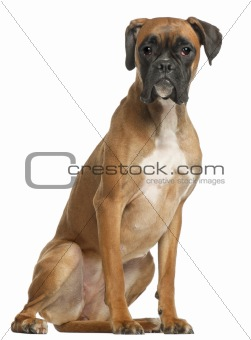 Boxer, 12 months old, sitting in front of white background