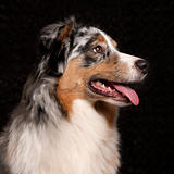 Australian Shepherd dog, 10 months old, in front of black background