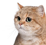 Close-up of British Shorthair cat, 2 years old, in front of white background