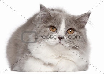 British Longhair cat, 6 months old, lying in front of white background