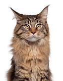 Close-up of Maine Coon cat, 7 months old, in front of white background