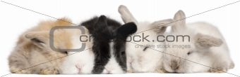 Four English Angora rabbits in front of white background