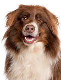 Close-up of Australian Shepherd dog in front of white background