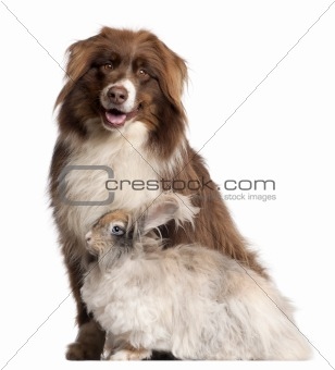 Australian Shepherd dog and English Angora rabbit in front of white background
