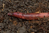 earthworm
