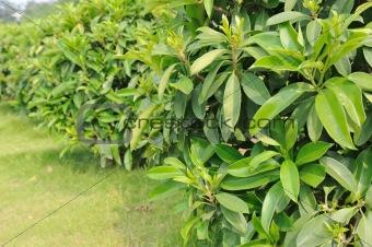 Green tea trees