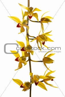 Fresh bright yellow orchid