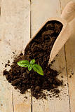 Gardening birth of basil plant