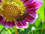 red beetle on purple dahlia