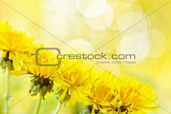 Charming dandelion
