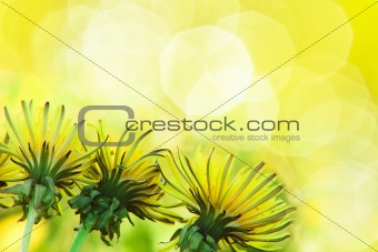 Charming dandelions