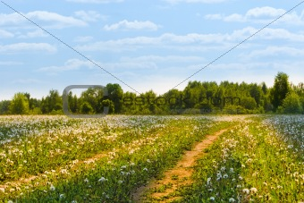Field with yellow dandelions and road