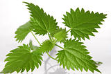 nettle leafs