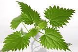 nettle leafs