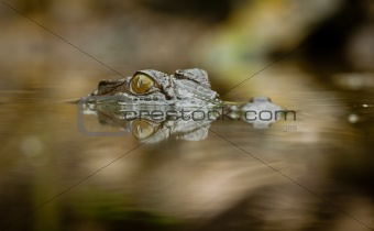 Close-up shot of saltwater crocodile