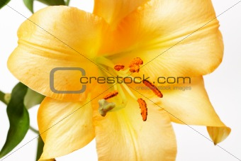 Yellow Tiger lilly