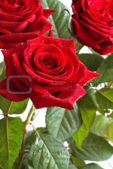 Beautiful bouquet of bright red roses on a light background