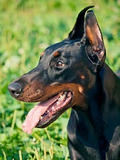 portrait of amazing dobermann