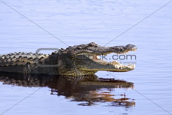 Alligator in the wild,Sarasota,Florida