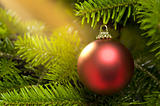 Red ball in a real Caucasian Fir Christmas tree