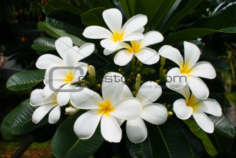 Frangipai Flowers