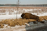 wild bison knocked over by car