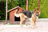 german shepherd and wooden doghouse