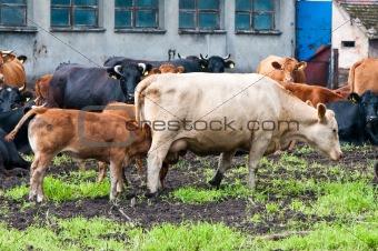 calves and cows on dairy farm