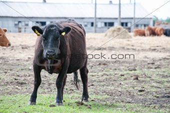 black cow on the pasture