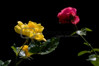Beautiful yellow and red roses on black backrount