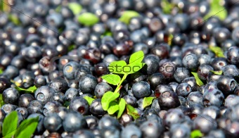 Fresh blueberries and green leaves