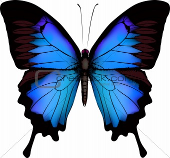 Blue butterfly papilio ulysses (Mountain Swallowtail)