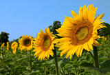 Row of sunflower