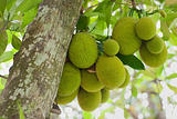 Jack Fruits