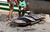 Fresh tuna fishes from a fishing boat
