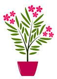 oleander in pot