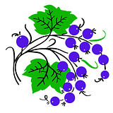 Bunch of red currant. Ripe berry. Vector