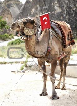 Camel rides at tourist spot