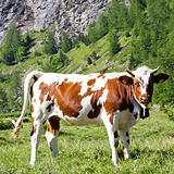 Cows and Italian Alps