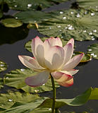 The Flower, pink lotus